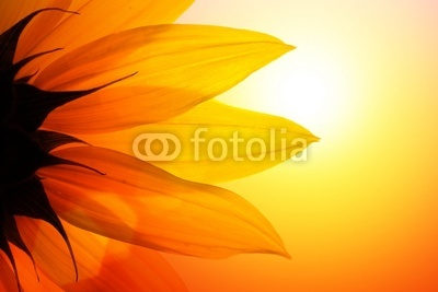 Sunflower at sunset, closeup.
